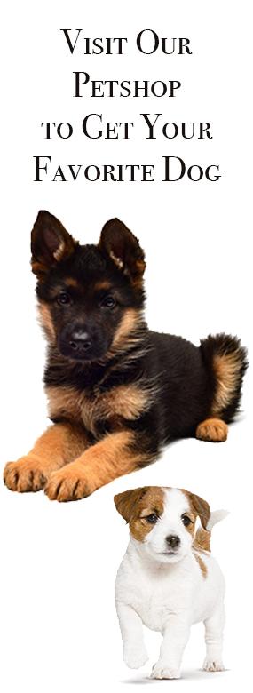 Afghan Shepherd: Afghanistan German Shepherd Dogs Club